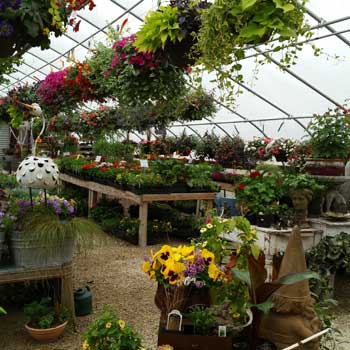 graziano green house annuals