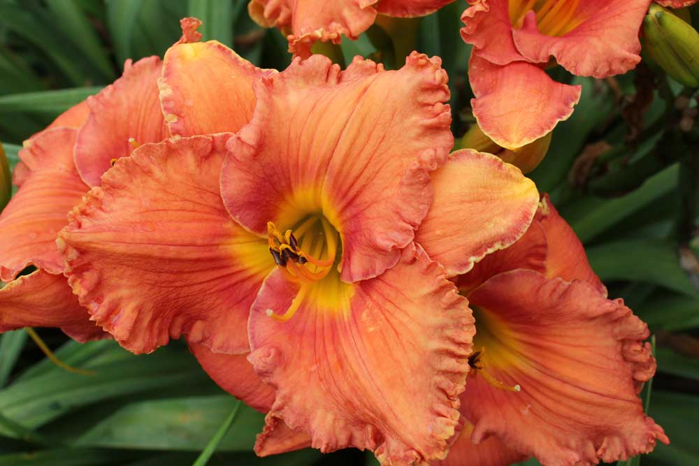 Apps Silk and Baritone Daylily