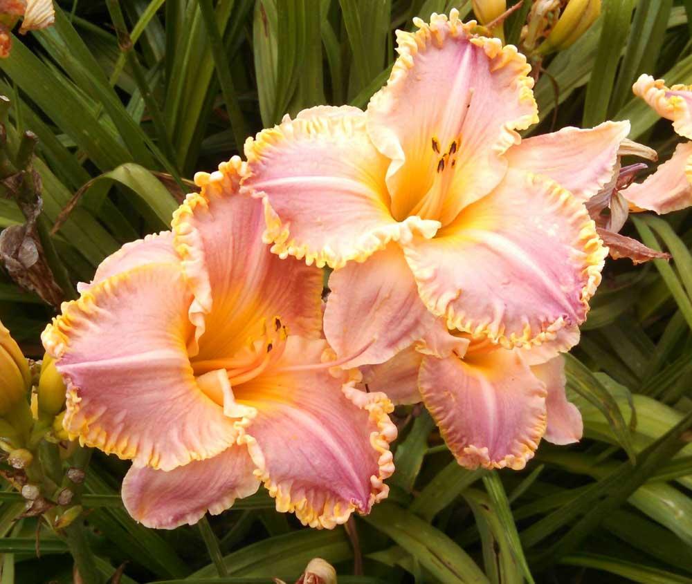 Graziano Gardens Daylilies