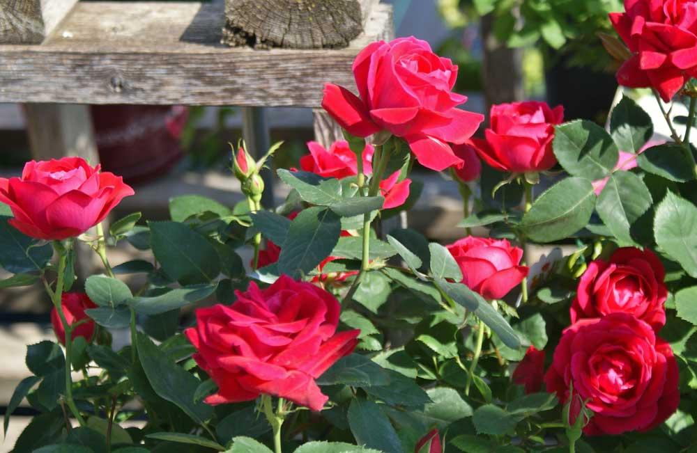 Graziano Gardens Roses