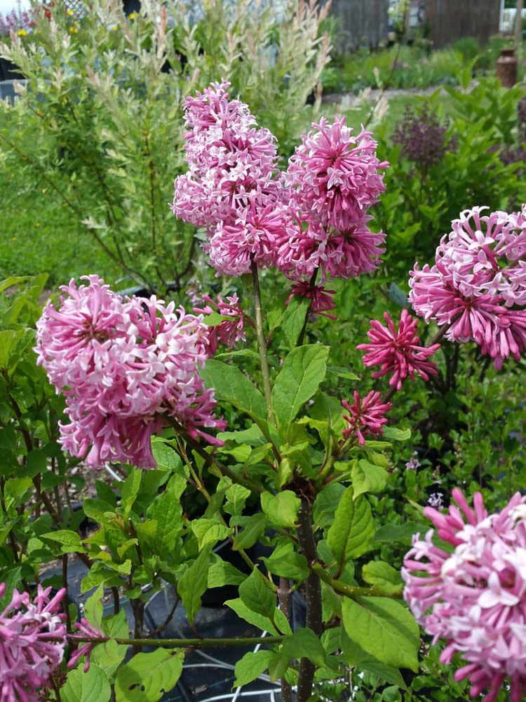 Graziano Lilacs