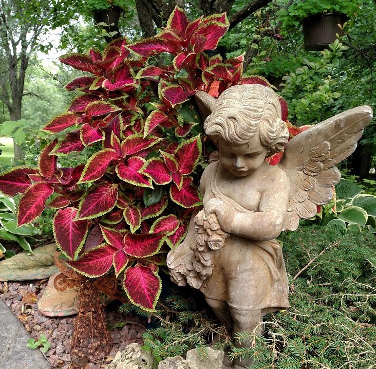 Graziano.angel .coleus cropped